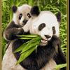 Medvedíky Panda